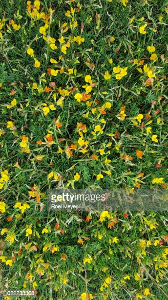 Common bird's-foot trefoil; flowering