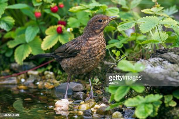 Common blackbird juvenile drinking water from brook