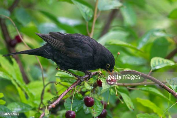 Common blackbird male eating cherries from cherry tree