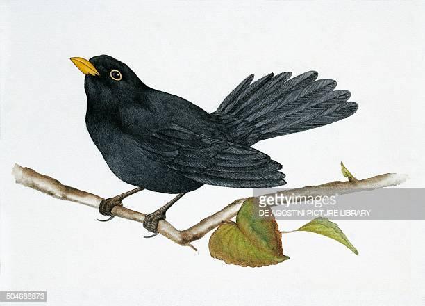 Common blackbird Turdidae drawing