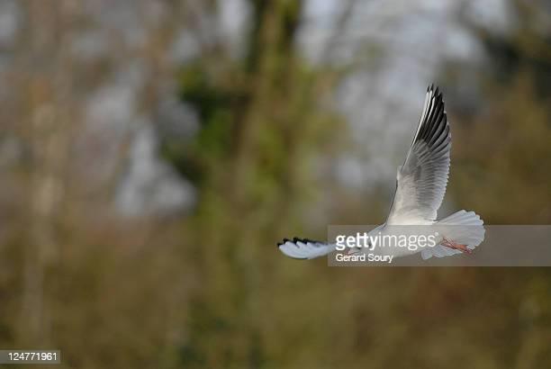 Common black-headed gull (Larus ridibundus) flying in winter, Ile de France, France