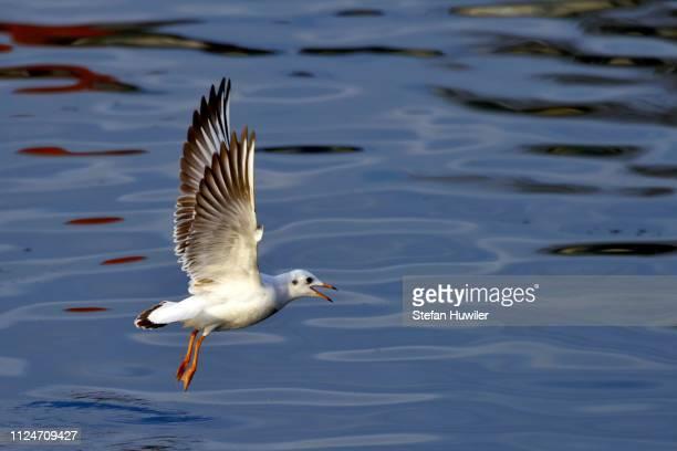 Common Black-headed Gull (Chroicocephalus ridibundus), taking off, Lake Zug, Switzerland