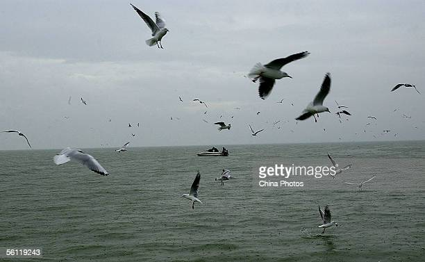 Common Black-headed Gulls fly over the Dianchi Lake on November 8, 2005 in Kunming of Yunnan Province, China. Thousands of Common Black-headed Gulls...