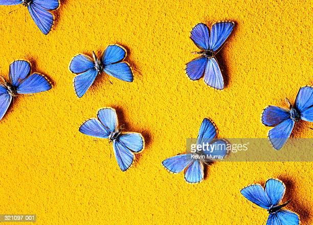 Common blue butterflies (Polyommatus icarus)