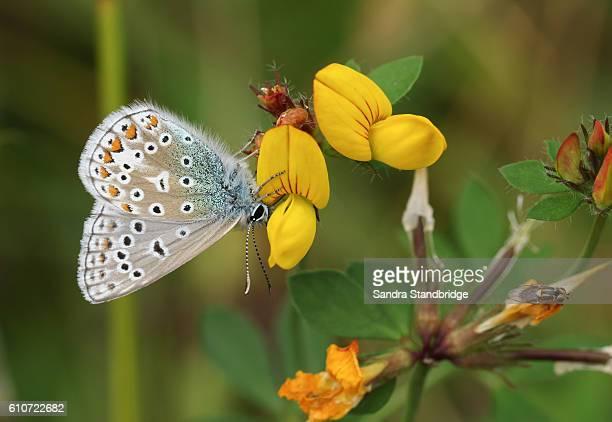 Common Blue Butterfly (Polyommatus icarus )on Bird's-foot trefoil (Lotus corniculatus).