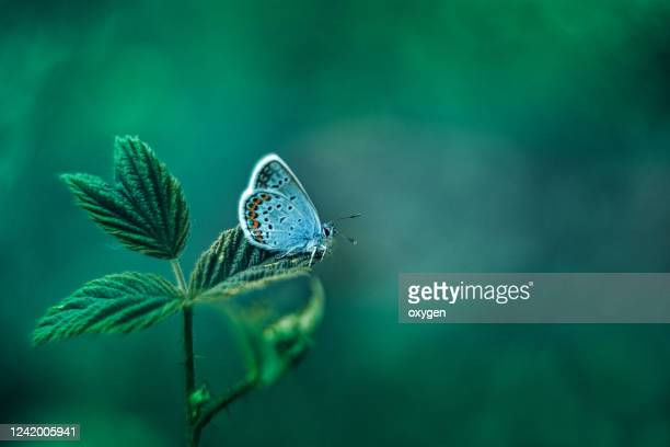 common blue butterfly on green nature leaf background - macro animal photos et images de collection
