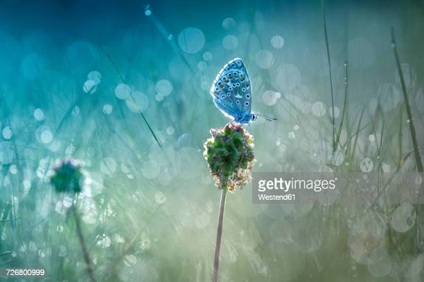 common blue on blossom bud at backlight - schmetterling stock-fotos und bilder