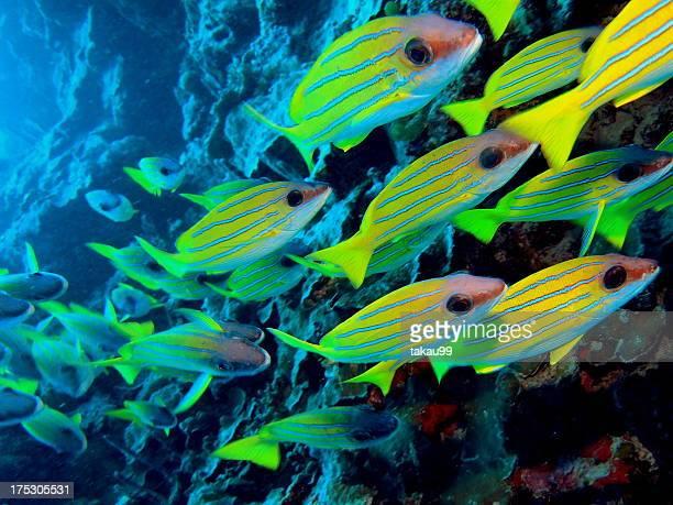 Common bluestripe snapper, Maldives