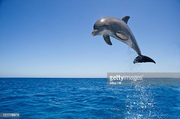 Common Bottlenose Dolphin (Tursiops truncatus) leaping out of water, Honduras