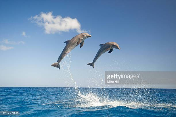Common Bottlenose Dolphins (Tursiops truncatus) leaping out of water together, Honduras