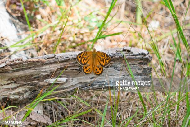 Common Brown Butterfly in the bush | Melbourne | Australia