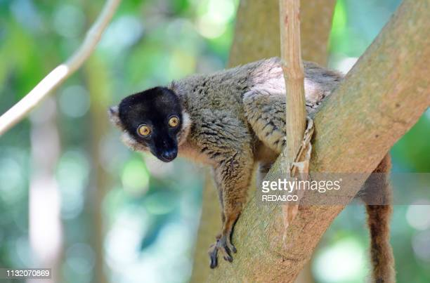 Common brown lemur in the tree Tanikely national park Nosy Tanikely Madagascar Africa