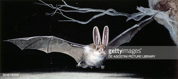 Common brown longeared bat Chiroptera drawing