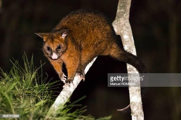 Common brushtail possum, Eungella National Park, Australia
