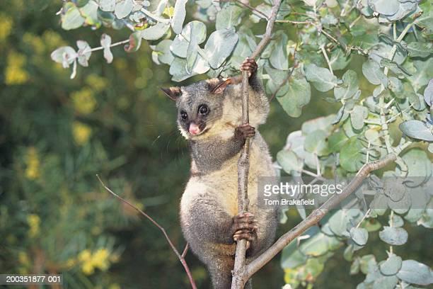 common brushtail possum (trichosurus vulpecula) in tree, australia - possum stock pictures, royalty-free photos & images