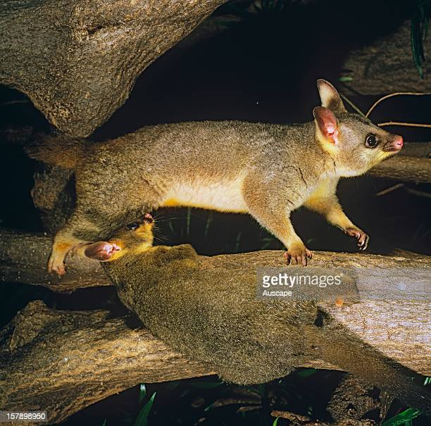 Common brushtail possum mother and large young Australia