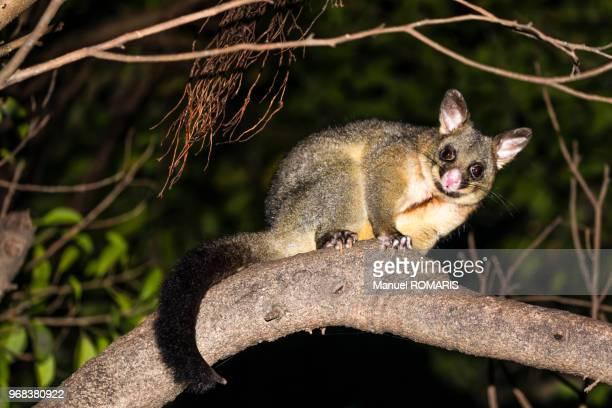 common brushtail possum, sydney - possum stock pictures, royalty-free photos & images
