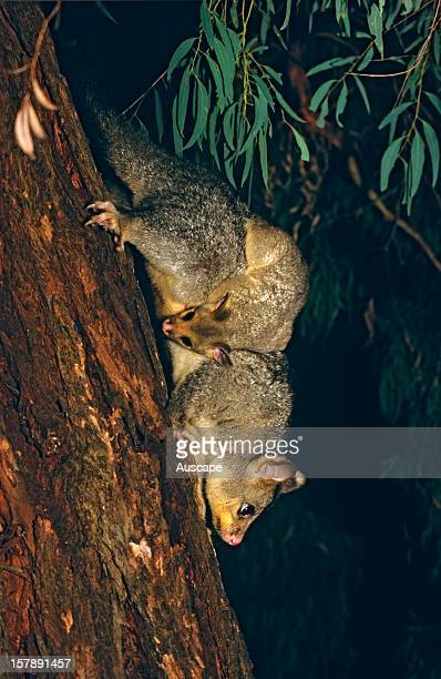 Common brushtail possum with young Garden in Canberra Australian Capital Territory