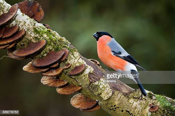 Common Bullfinch / Eurasian Bullfinch male perched on branch in forest
