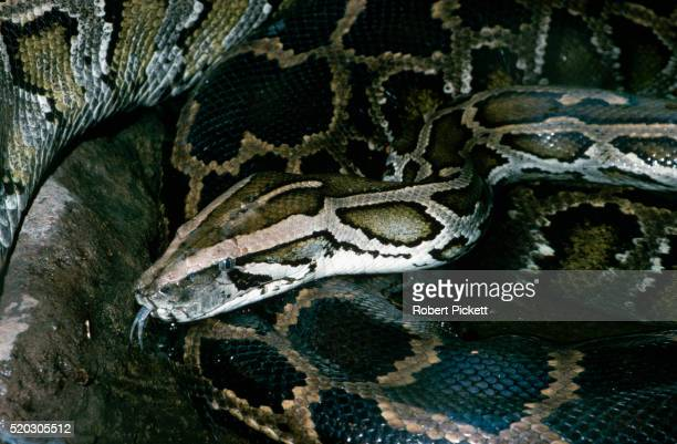 common burmese python - burmese python stock pictures, royalty-free photos & images