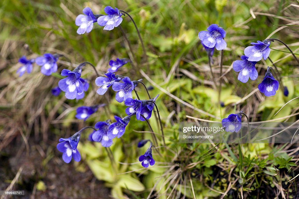 Common Butterwort - wild flowers : Stock Photo