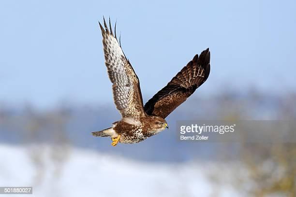 common buzzard -buteo buteo- in flight over a snow-covered landscape, swabian alb biosphere reserve, baden-wurttemberg, germany - raubvogel stock-fotos und bilder