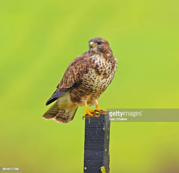 Common Buzzard [Buteo buteo]