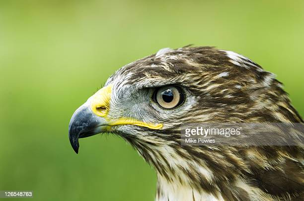 common buzzard, buteo buteo, profile portait, uk - hawk stock pictures, royalty-free photos & images