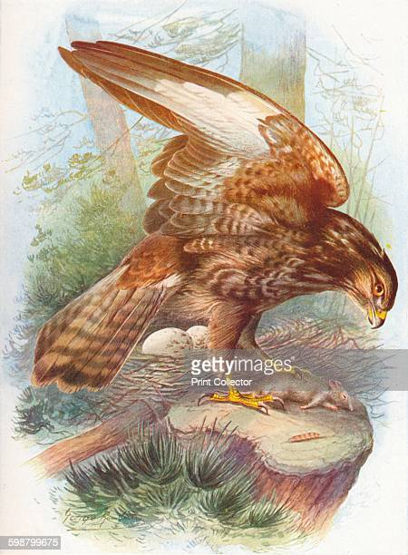 Common Buzzard Buteo vulgaris circa 1910 From Britains Birds and Their Nests by A Landsborough Thomson [The Waverley Book Company Limited W R...