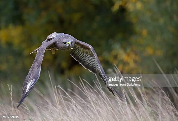 Common buzzard (buteo buteo) in flight, UK