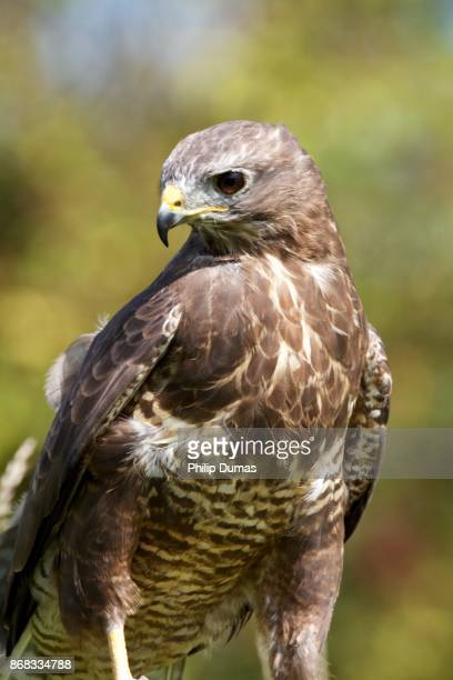 common buzzard (buteo buteo) - gloucestershire stock pictures, royalty-free photos & images