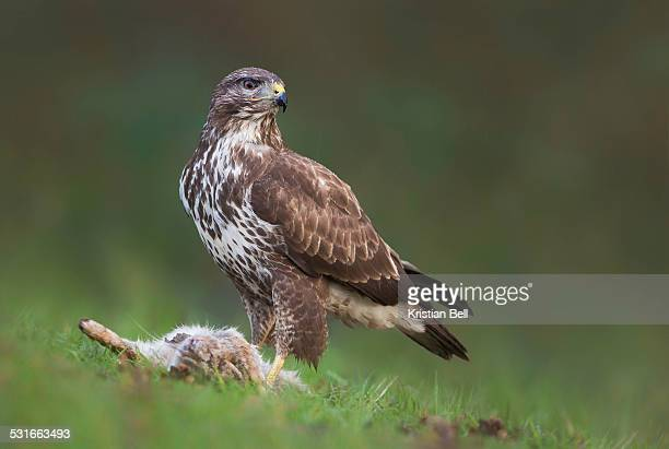 common buzzard (buteo buteo) with rabbit - hawk stock pictures, royalty-free photos & images