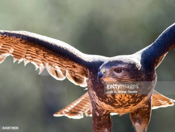 Common Buzzard (Buteo buteo) ,with the unfolded wings hunting . Spain,