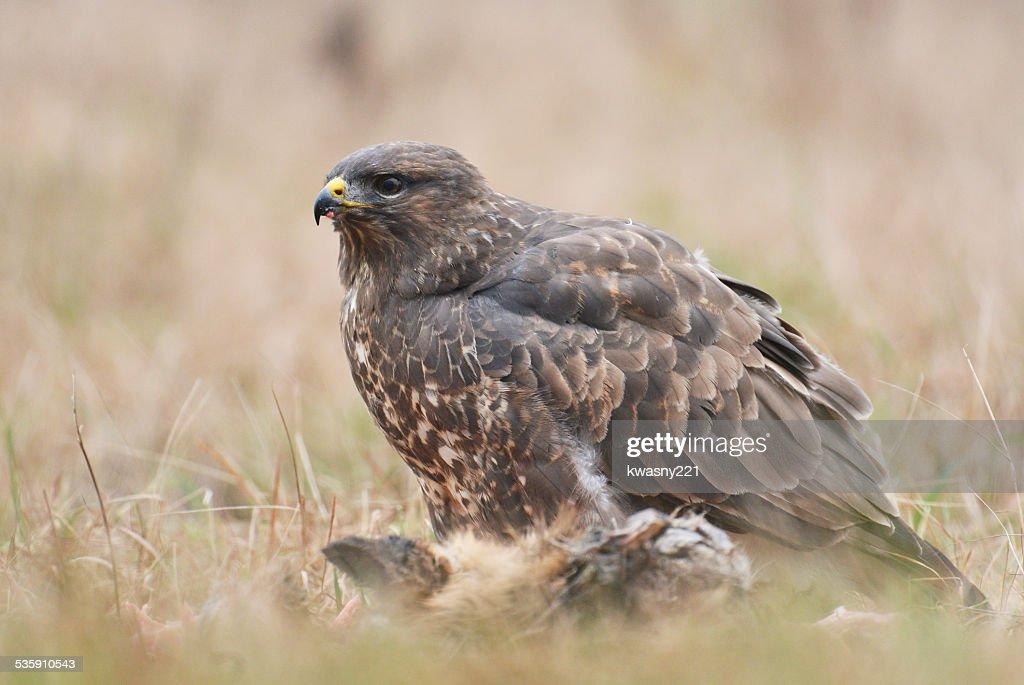 Frequentes buzzards : Foto de stock