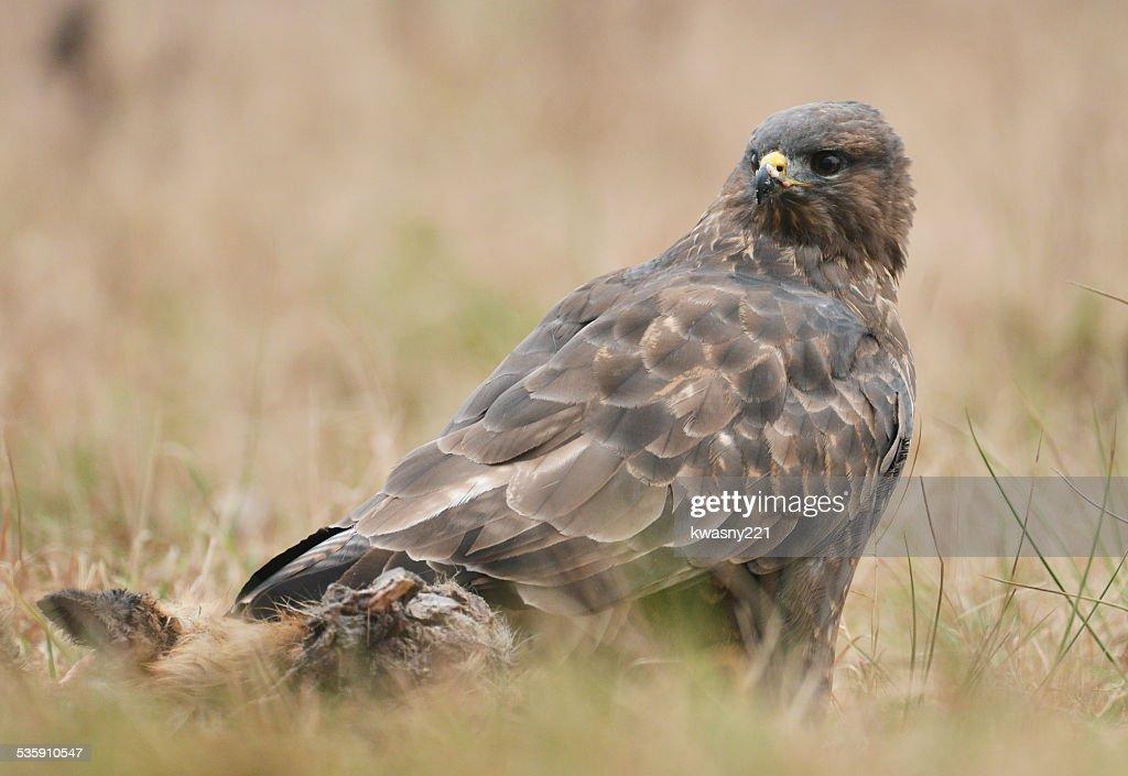 Common buzzards : Stock Photo