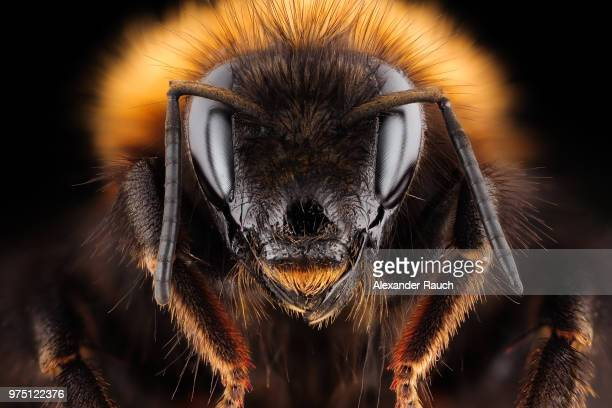 common carder bee (bombus pascuorum) queen, leechwald, graz, styria, austria - queen bee stock pictures, royalty-free photos & images