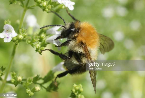 A common carder bumblebee prods flowers for nectar in an urban garden in the city center on August 9 2018 in Berlin Germany NABU Germany's biggest...