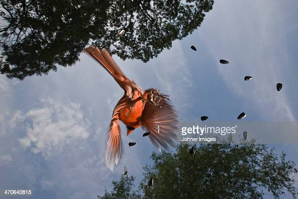 common cardinal in flight, low angle view - blue cardinal bird stock pictures, royalty-free photos & images