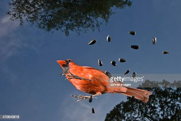 common cardinal with seeds against blue sky - blue cardinal bird stock pictures, royalty-free photos & images