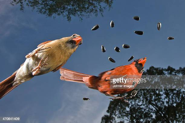 common cardinals with seeds against blue sky - blue cardinal bird stock pictures, royalty-free photos & images