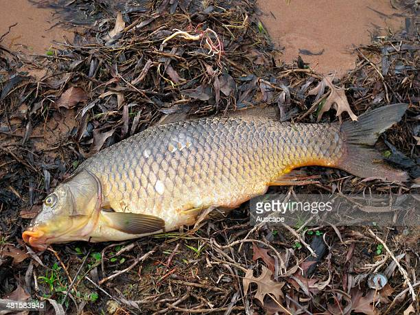 Common carp Cyprinus carpio an unwanted fish in the Murray Darling water system muddies the water interferes with irrigation systems damages the...