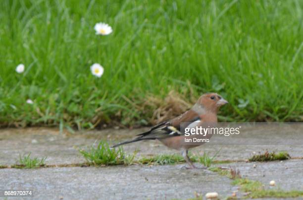 Common chaffinch feeding