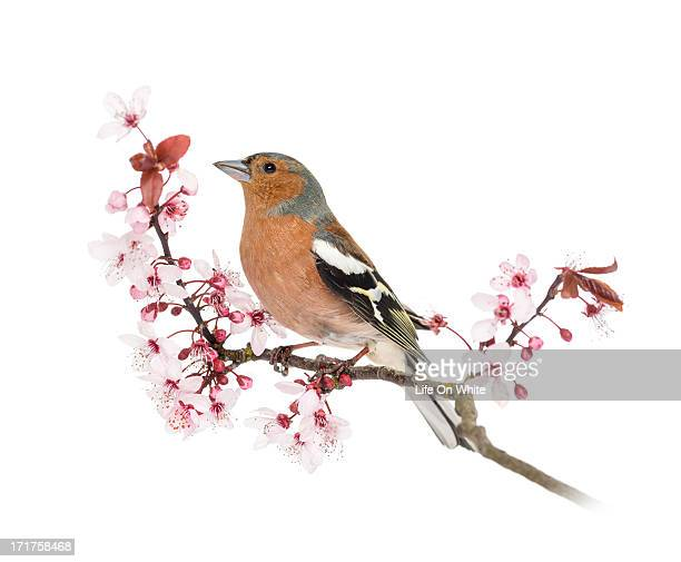 Common Chaffinch on a branch, Fringilla coelebs