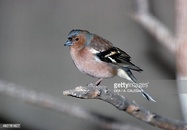 Common chaffinch or Chaffinch Fringillidae
