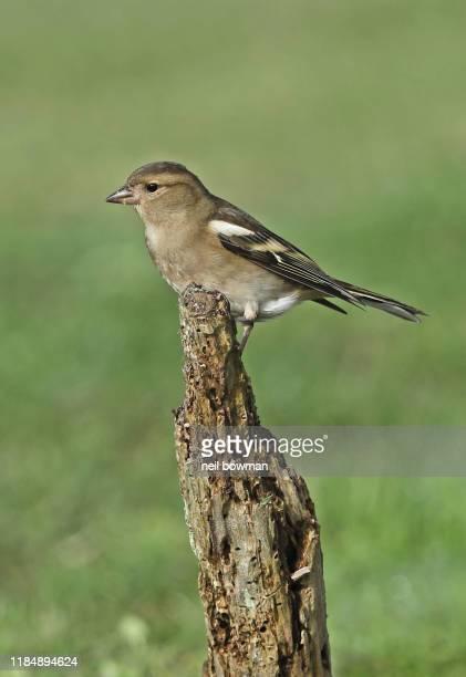 common chaffinch fringilla coelebs adult female