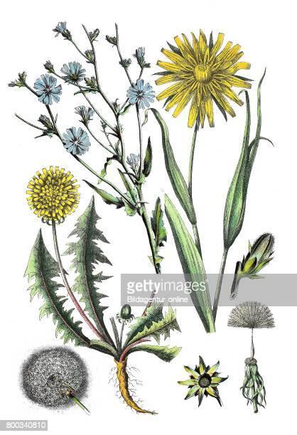 Common chicory Cichorium intybus meadow salsify showy goat'sbeard Tragopogon pratensis dandelion Taraxacum sect Ruderalia
