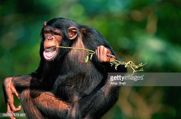 Common chimpanzee (Pan troglodytes) eating, Africa