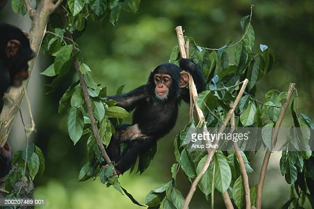Common chimpanzee (Pan troglodytes) holding branch of tree, Africa