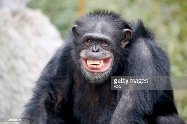 A common chimpanzee is seen at Chongqing Locajoy Theme Park on January 23 2020 in Chongqing China