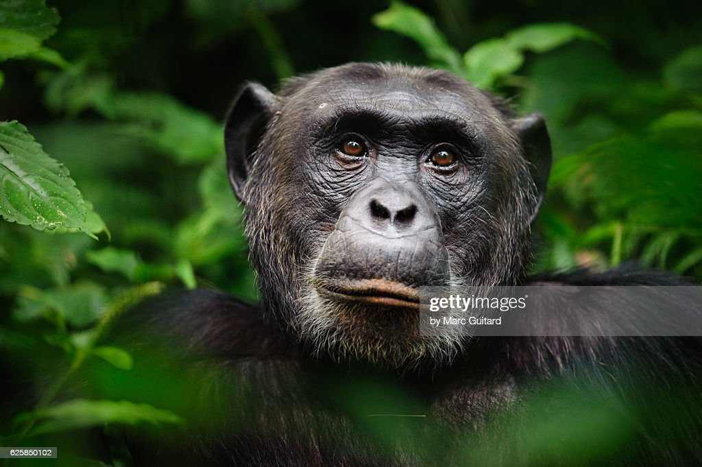 Common chimpanzee (Pan troglodytes), Kibale Forest National Park, Uganda : Stock-Foto